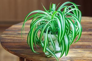 How to Grow and Care for Spider Plants