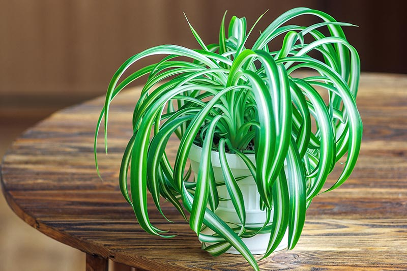 A close up horizontal image of a small spider plant growing in a white pot set on a wooden surface pictured on a soft focus background.