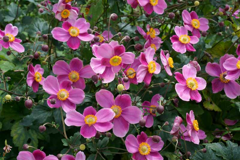 A close up horizontal image of bright pink Japanese anemone flowers growing in the garden with foliage in soft focus in the background.
