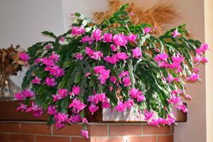 How to Make Your Christmas Cactus Bloom