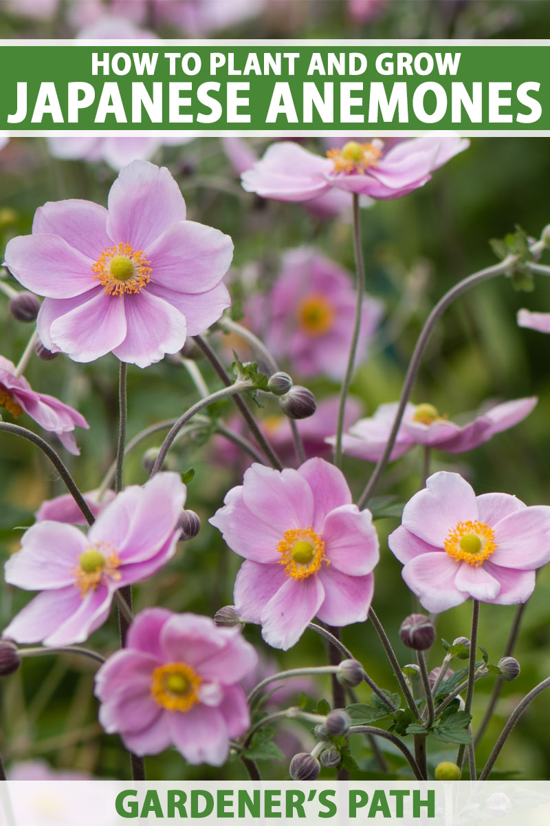 A close up vertical image of bright pink flowers with orange centers growing in the garden pictured on a soft focus background. To the top and bottom of the frame is green and white printed text.