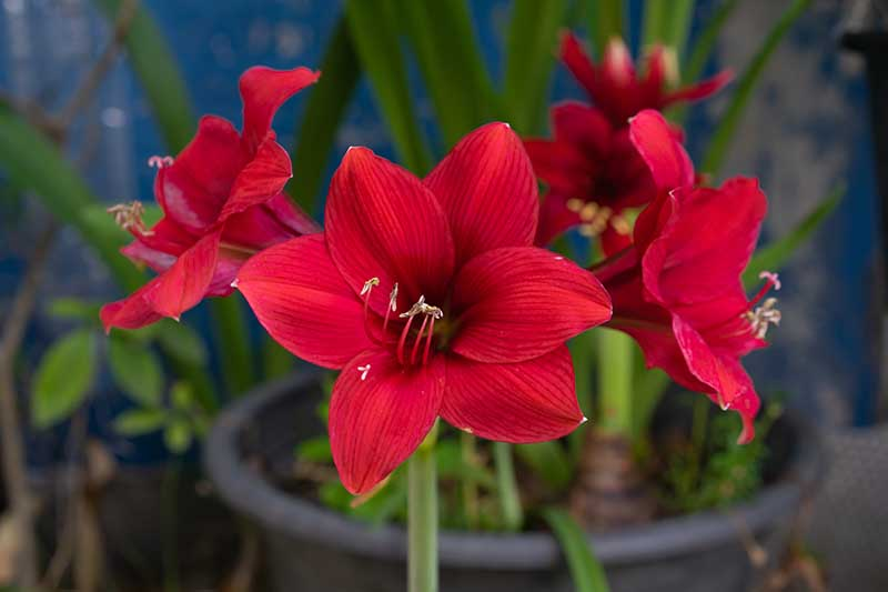 A close up horizontal image of a bright red Hippeastrum flower pictured on a soft focus background.