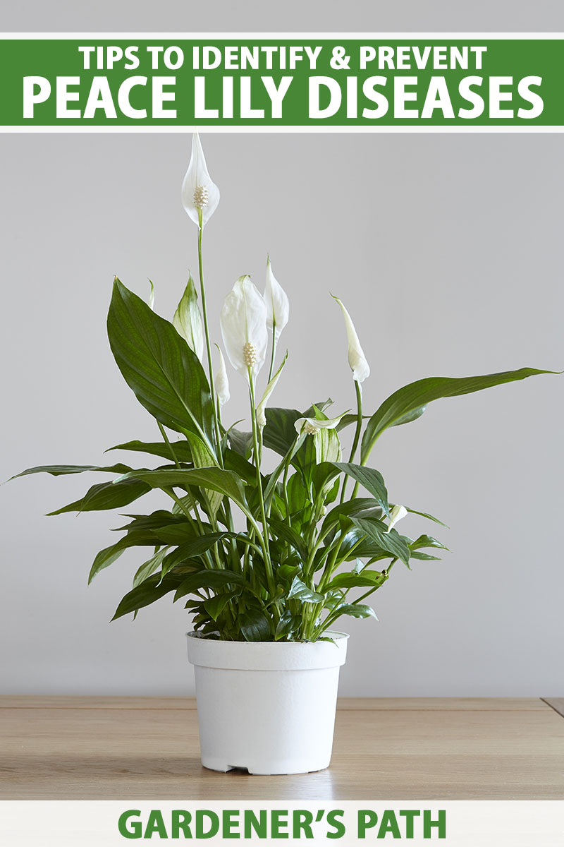 A vertical image of a small Spathiphyllum plant in a white pot set on a wooden surface with a light gray wall in the background. To the top and bottom of the frame is green and white printed text.