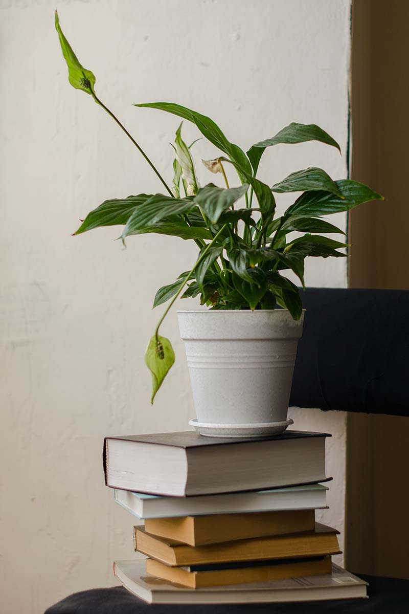 A close up vertical image of a peace lily plant growing in a white plastic pot set on a pile of books pictured on a white background.