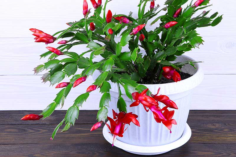 A close up horizontal image of a Schlumbergera in a white pot with bright red flowers set on a wooden surface.