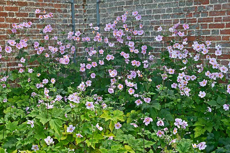 A horizontal image of a drift of Japanese anemones growing by a brick wall.