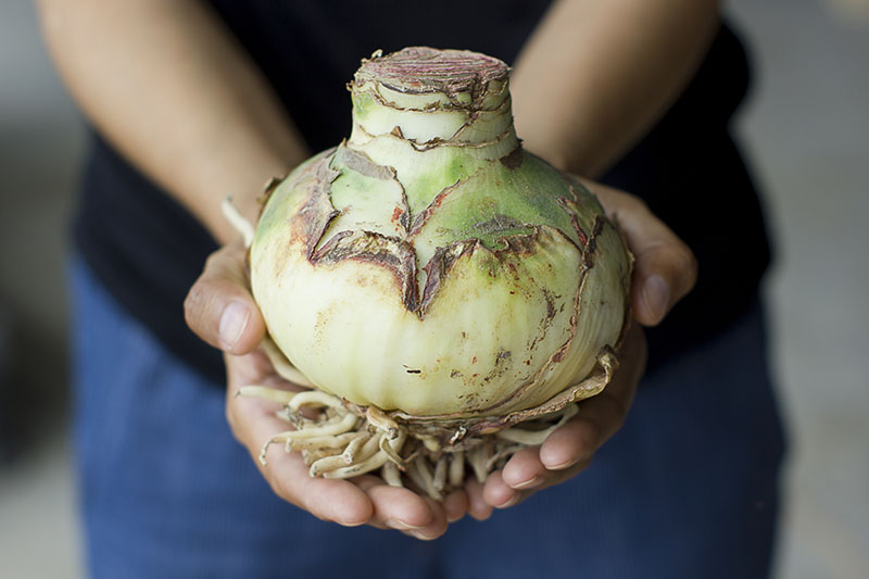 A close up horizontal image of a person holding a large dormant Hippeastrum ready for planting, pictured on a soft focus background.
