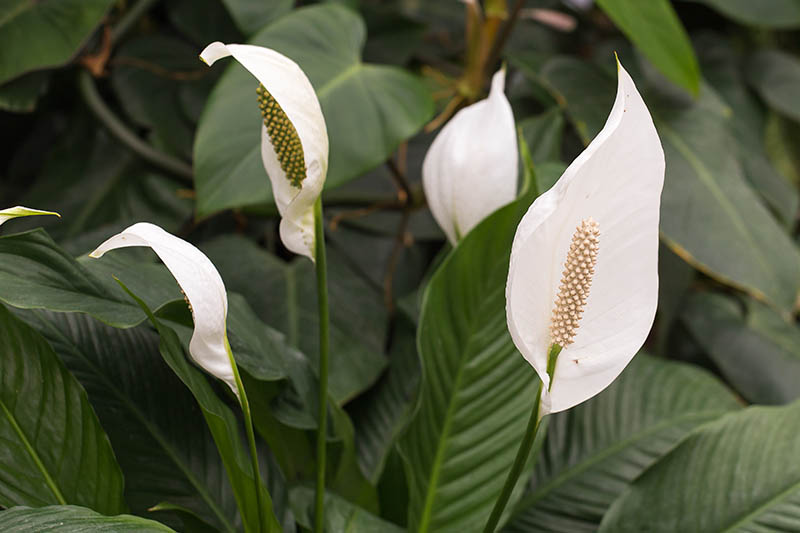 A close up horizontal image of a Spathiphyllum growing outdoors with dark green foliage and white spathes.