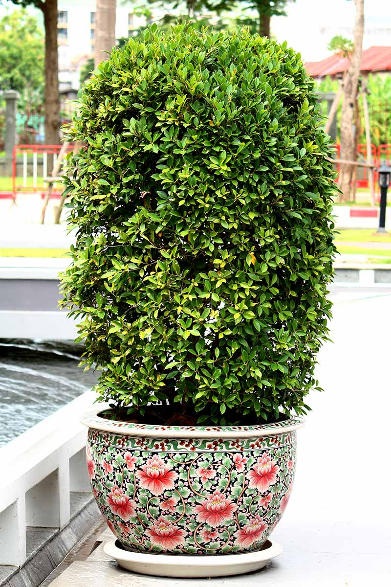A close up vertical image of an ornamental evergreen growing in a decorative container set outdoors next to a swimming pool with a home in soft focus in the background.