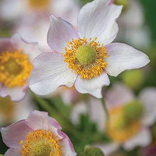 A close up square image of light pink 'Leather and Lace' anemone flowers growing in the garden pictured on a soft focus background.