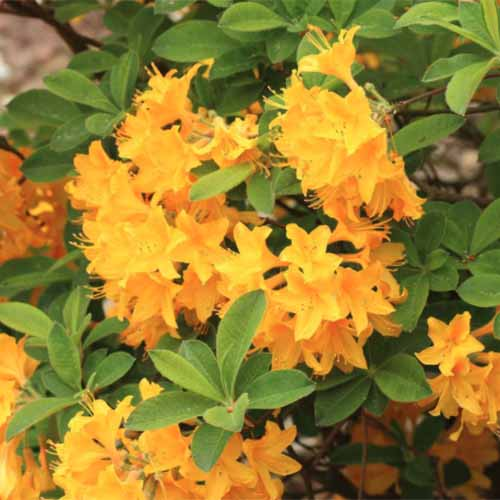 A close up square image of 'Lemon Lights' Rhododendron with yellow flowers contrasting with the light green foliage.