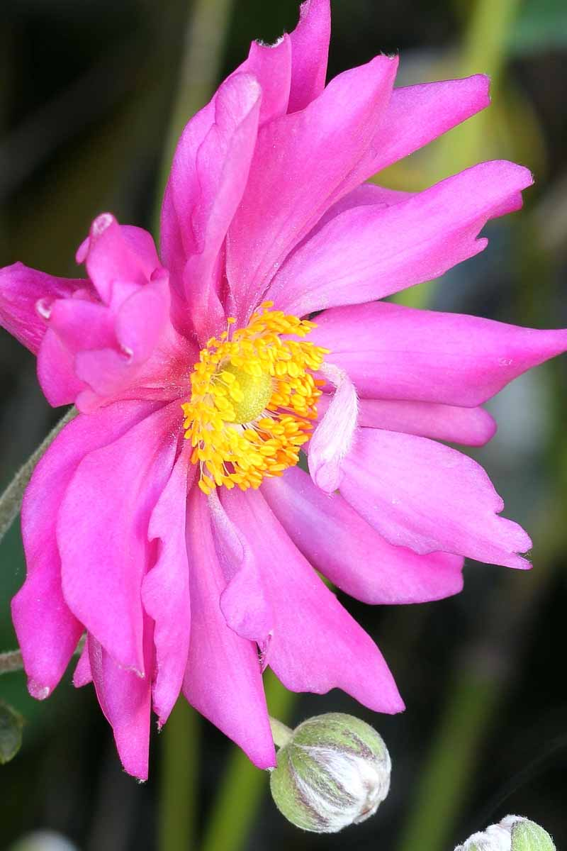 A close up vertical image of a bright pink flower growing in the garden pictured on a soft focus background.