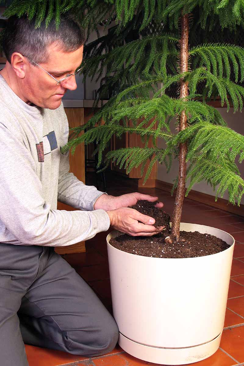 A close up vertical image of a man on the left of the frame adding soil to a white pot after repotting a Norfolk Island pine tree.