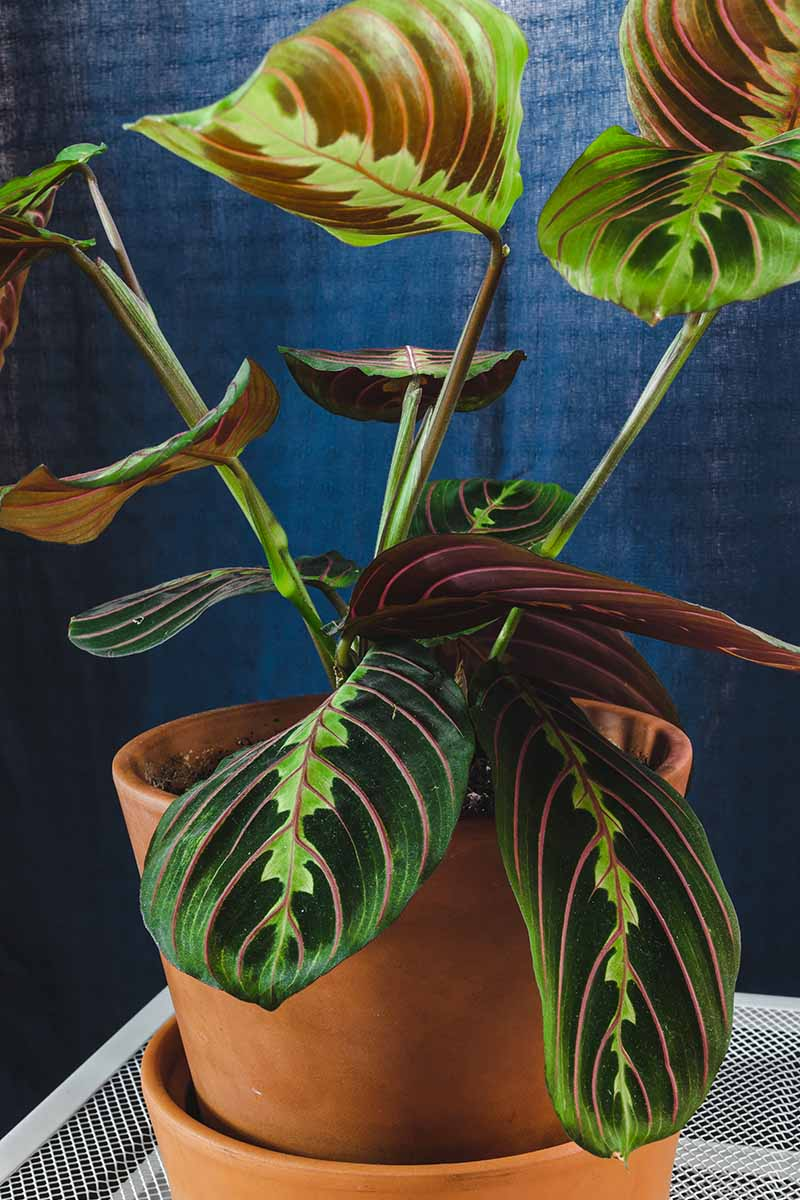 A close up vertical image of a prayer plant growing in a terra cotta pot with a saucer below to catch the water, pictured on a dark gray background.