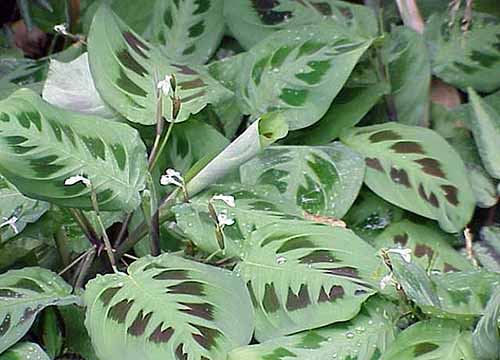 A close up square image of the foliage of Rabbit Tracks plant growing in the garden.