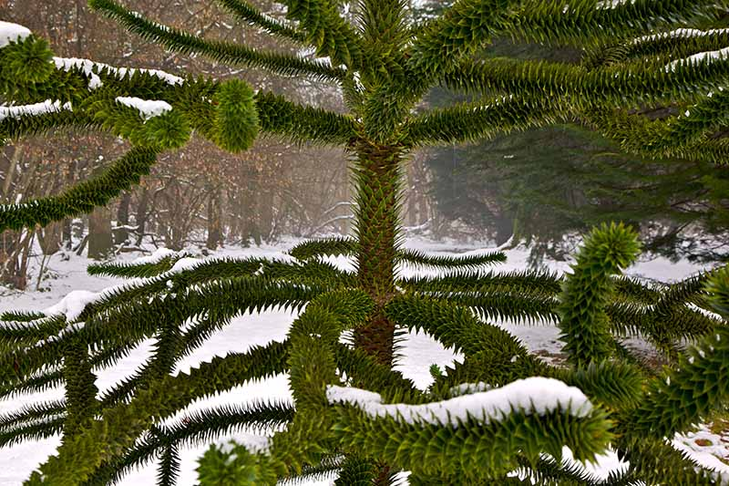 A close up horizontal image of a large monkey puzzle tree growing outdoors with a snowy landscape in soft focus in the background.