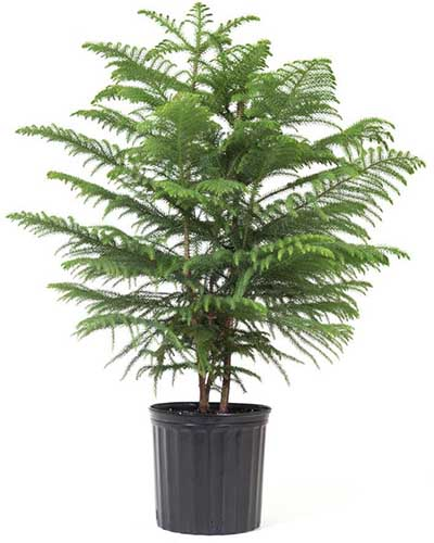 A close up square image of a Norfolk Island Pine tree in a black container pictured on a white background.