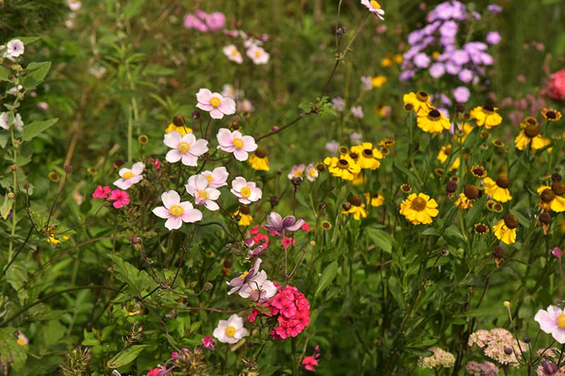 A horizontal image of a variety of wildflowers growing in the garden.