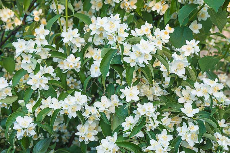 A close up horizontal image of a Philadelphus shrub growing in the garden with white flowers and glossy green foliage.