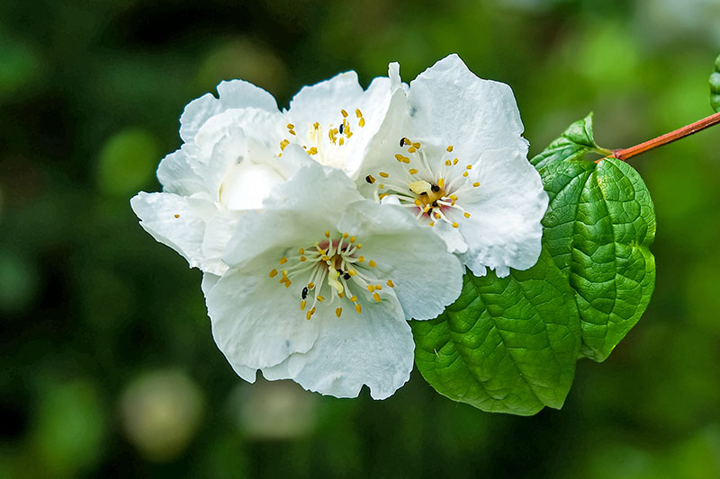 A close up horizontal image of the delicate white flowers of a mock orange shrub pictured on a soft focus background.