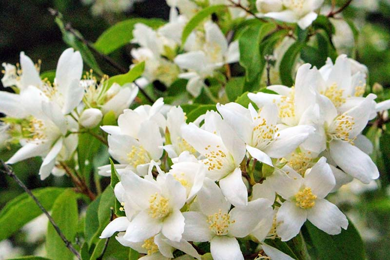 A close up horizontal image of the pretty white flowers blooming on a mock orange shrub in late spring, pictured on a soft focus background.