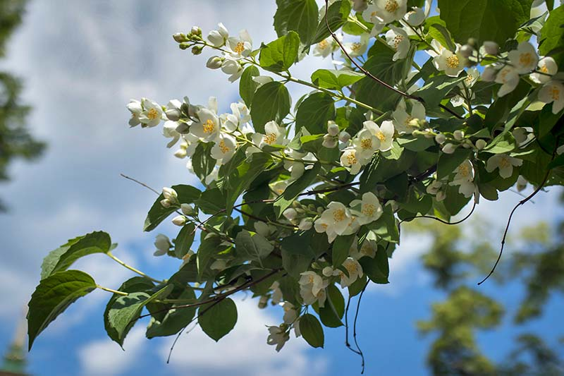 A close up horizontal image of a flowering mock orange shrub growing in the garden pictured on a blue sky background.