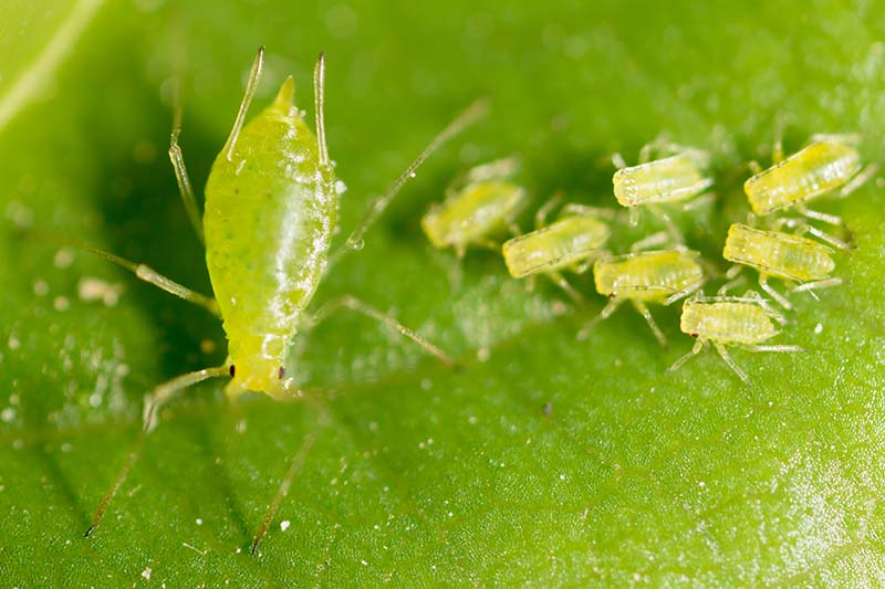 A close up horizontal image of a mother aphid to the left of the frame and numerous offspring to the right, pictured feeding on the surface of a leaf.