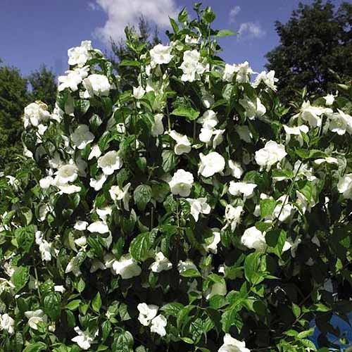 A close up square image of Philadelphus 'Natchez' growing in the garden with a profusion of white blossoms contrasting with deep green foliage pictured on a blue sky background.