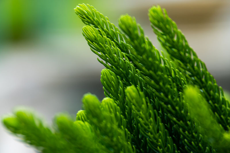 A close up of the mature leaves of Araucaria heterophylla pictured on a soft focus background.