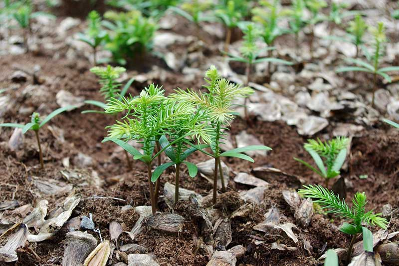 A close up horizontal image of small Norfolk Island pine tree seedlings growing in rich soil.