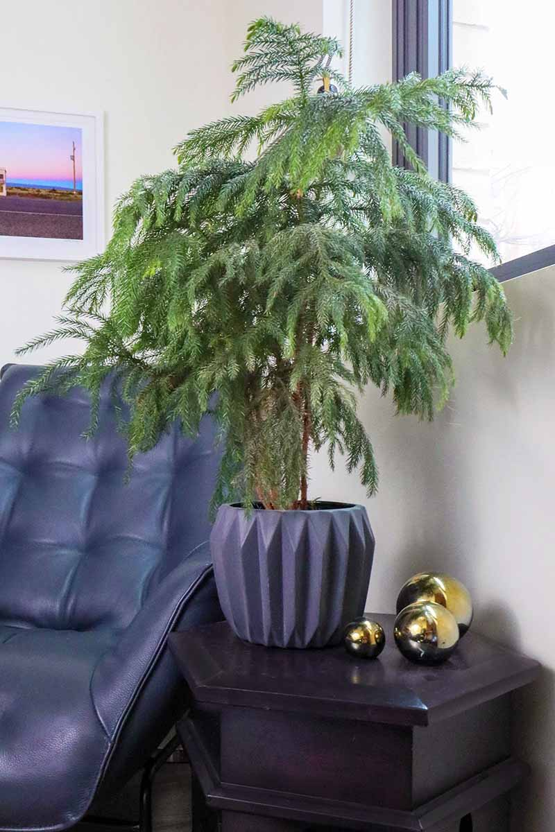 A vertical image of a small Araucaria heterophylla tree in a dark gray pot set on a side table next to a leather chair and a window, with gold Christmas decorations beside it.