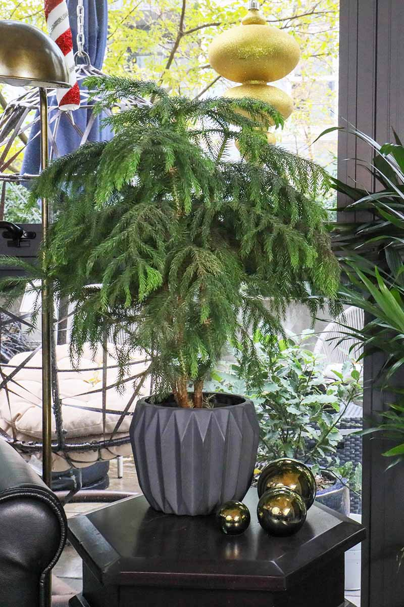 A close up vertical image of a Norfolk Island pine tree in a dark gray pot set on a side table beside a window.