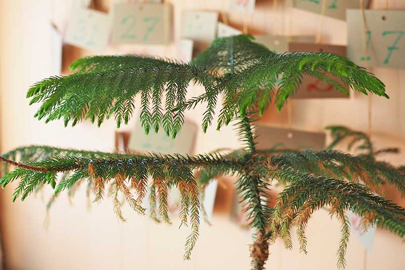 A close up horizontal image of a Norfolk Island pine tree with brown leaves, pictured on a soft focus background.