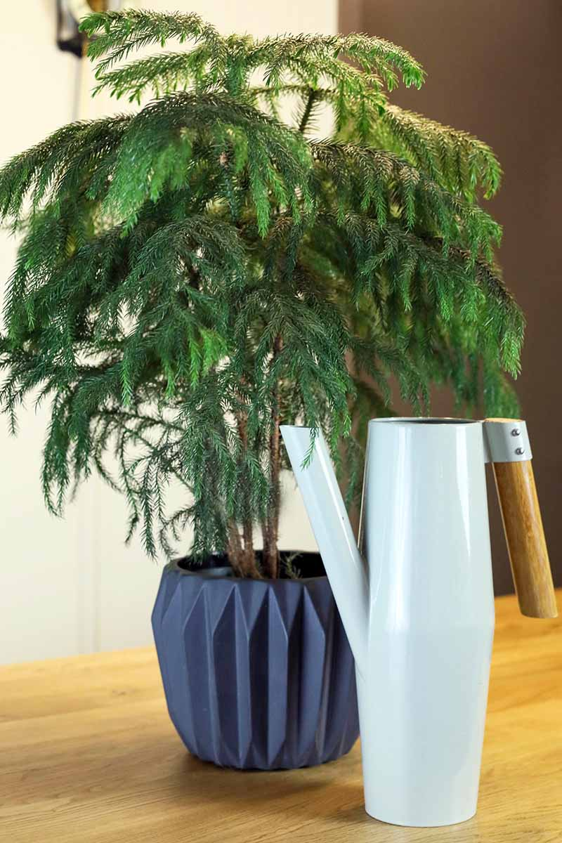 A close up vertical image of a small Norfolk Island pine tree in a dark gray pot, set on a wooden surface with a watering can to the right of the frame.