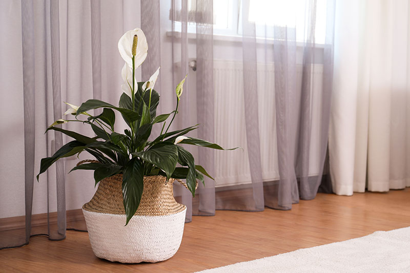 A close up horizontal image of a peace lily growing in a wicker basket, set on a wooden floor next to a radiator in a residence.