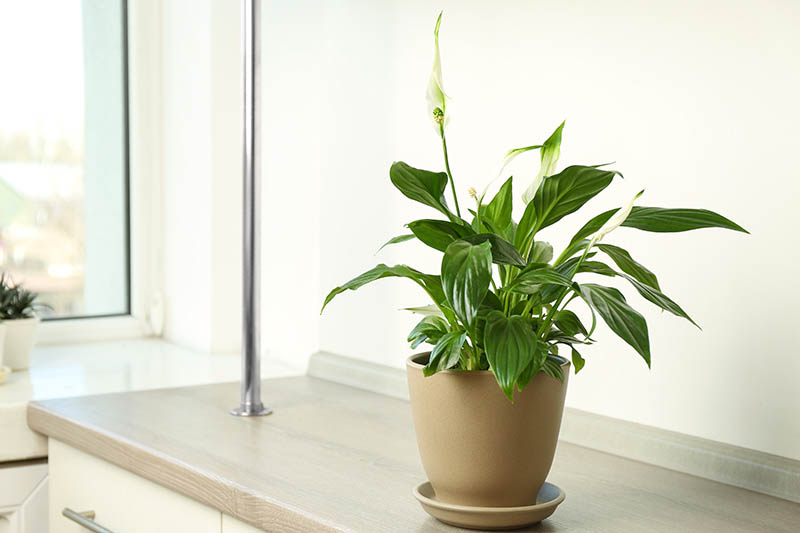 A close up horizontal image of a small Spathiphyllum plant growing in a ceramic pot on a kitchen counter next to a window.