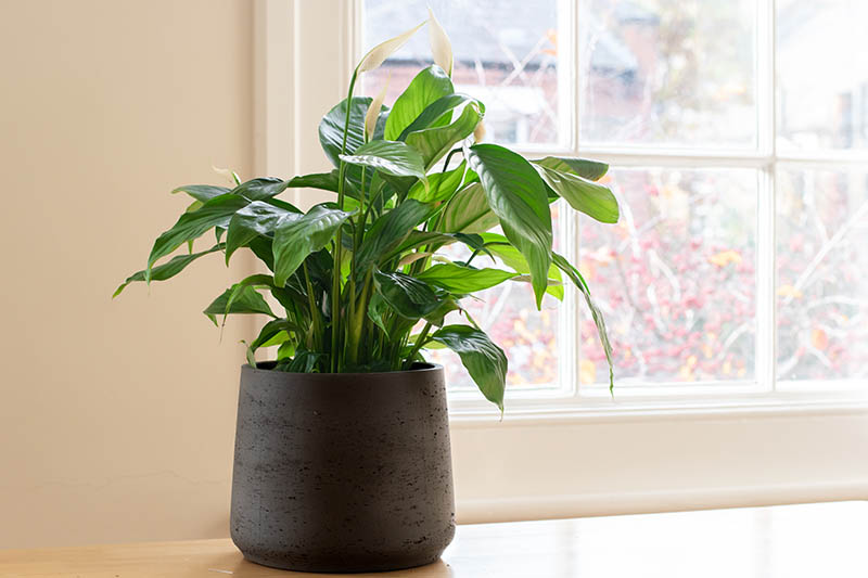 A close up horizontal image of a Spathiphyllum plant growing in a ceramic pot on a wooden surface next to a window.