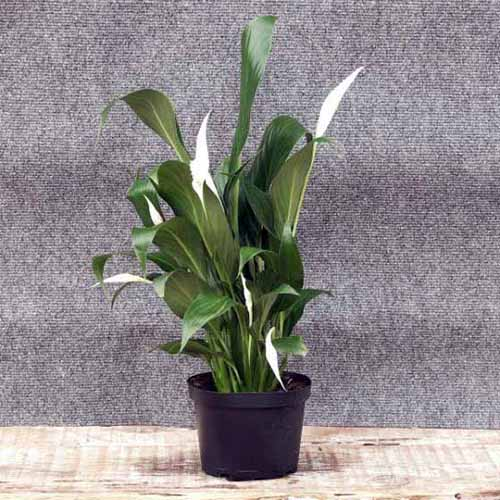 A close up square image of a peace lily plant growing in a small black container set on a wooden surface on a dark gray background.