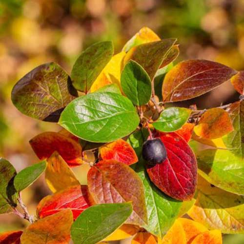 A close up square image of a 'Peking' cotoneaster cultivar growing in the garden with vivid fall foliage pictured on a soft focus background.