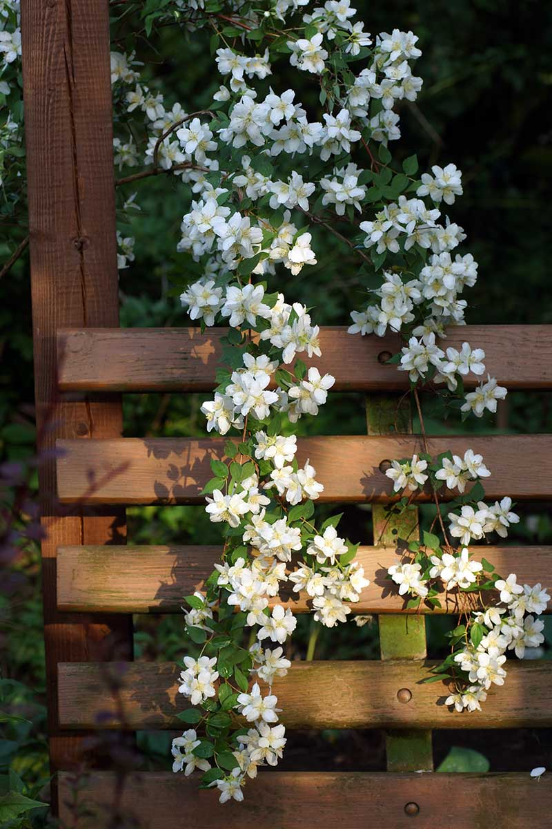 A close up vertical image of a mock orange 'Avalanche' growing over a wooden porch arbor, pictured in light filtered sunshine.