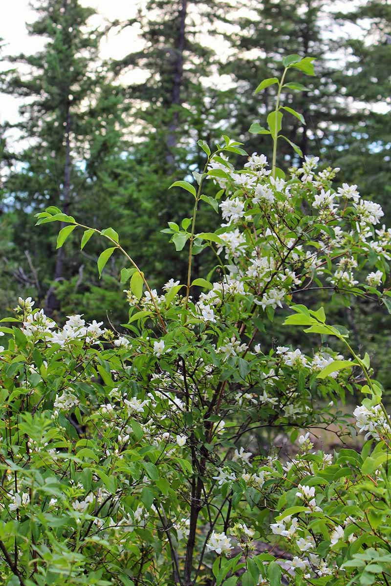 A vertical image of Philadelphus lewisii in full bloom, growing under a canopy of spruce, pictured on a soft focus background.
