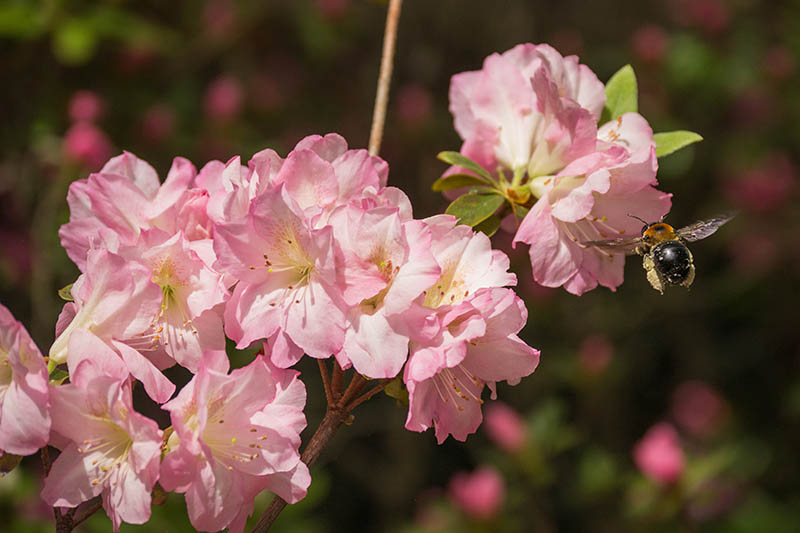A close up horizontal image of bright pink flowers with a bee, pictured in bright sunshine on a soft focus background.