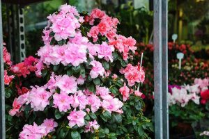 How to Grow and Care for Azaleas in Containers