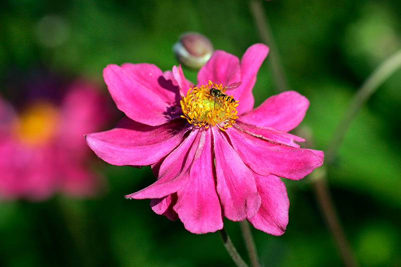 A close up horizontal image of a bright pink anemone flower with a yellow center and a bee feeding, pictured in bright sunshine on a soft focus background.