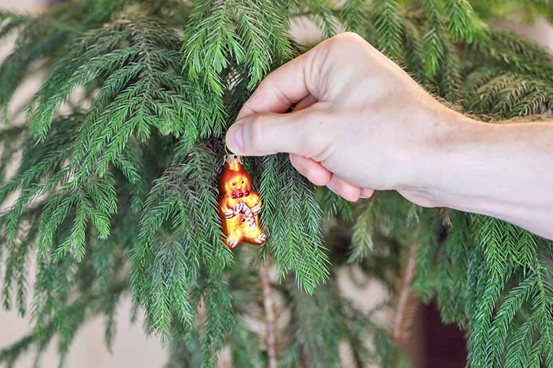A close up horizontal image of a hand from the right of the frame placing a small Christmas ornament onto a Norfolk Island pine tree growing indoors.