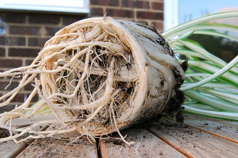 A close up horizontal image of a rootbound plant removed from its container ready for repotting.