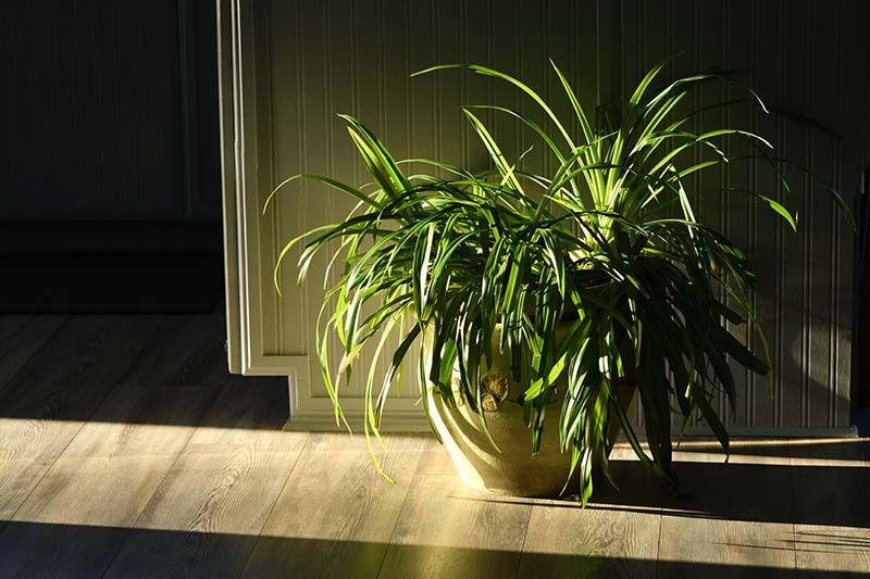 A close up horizontal image of a large spider plant growing in a terra cotta pot set on a wooden surface with light streaming in through a nearby window.