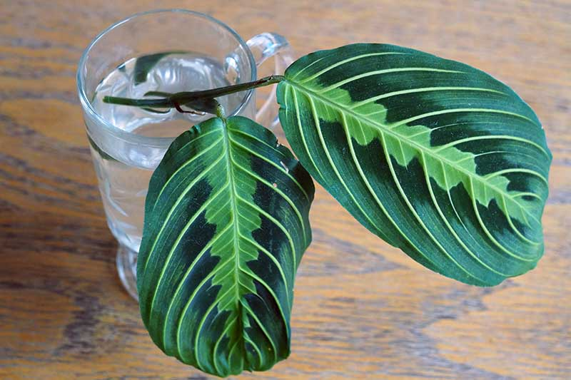 A close up horizontal image of stem cuttings from a maranta placed in a glass of water set on a wooden surface.