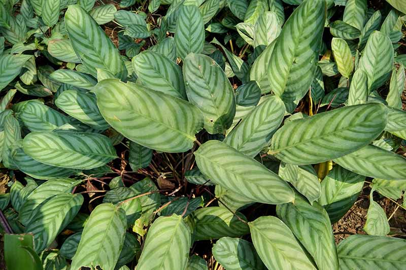 A close up horizontal image of the foliage of Ctenanthe setosa prayer plant, growing outdoors in the landscape, pictured in light filtered sunshine.