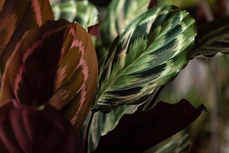 A close up horizontal image of the patterned foliage of prayer plants growing in light filtered sunshine indoors.